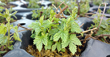 Hop Plant Seedlings