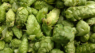 CL Hop Farms Hop harvest